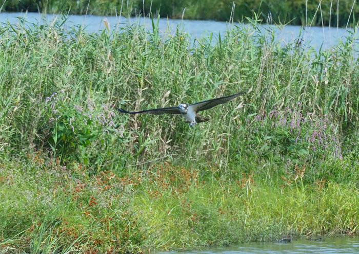 美しき湿原にミサゴがやって来た Ⅲ_d0290240_16560481.jpg