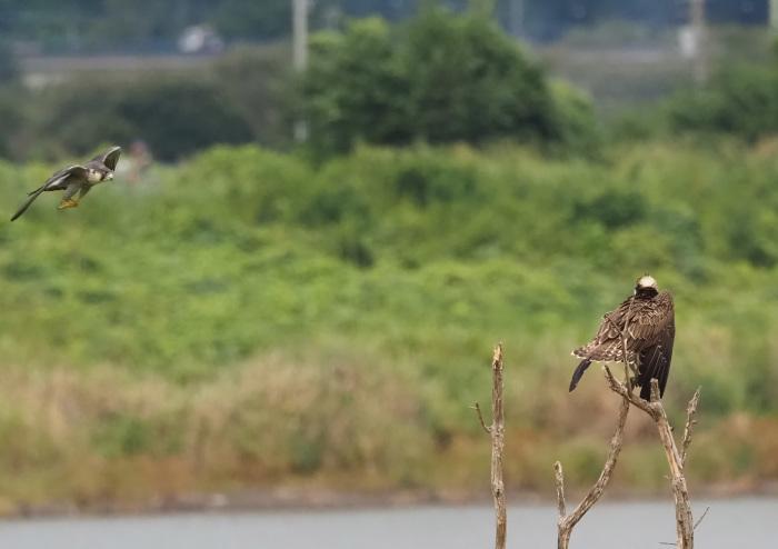 ハヤブサは良いなー池面を自由に飛翔_d0290240_17200617.jpg
