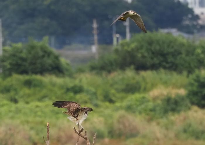 ハヤブサは良いなー池面を自由に飛翔_d0290240_17200719.jpg