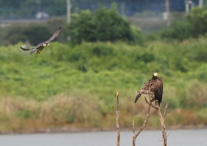ハヤブサは良いなー池面を自由に飛翔_d0290240_17200773.jpg