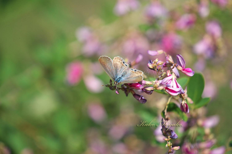 ウラナミシジミ(Long-tailed Blue ) ★☆☆☆☆  _d0013455_08182989.jpg