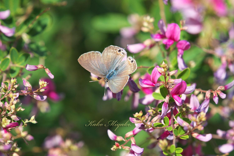 ウラナミシジミ(Long-tailed Blue ) ★☆☆☆☆  _d0013455_08183487.jpg
