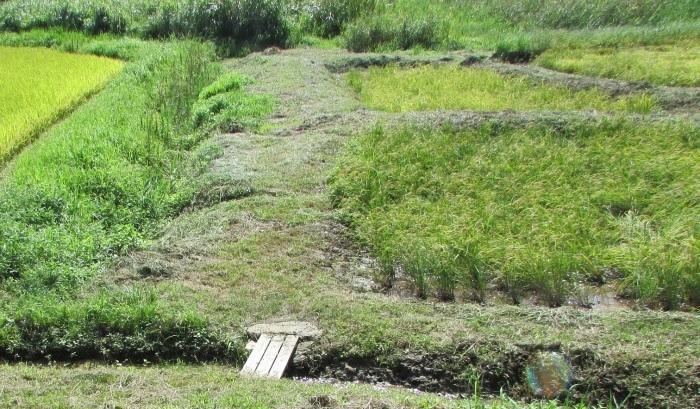 10月4日(日曜)は稲刈りをします_b0175921_14213182.jpg
