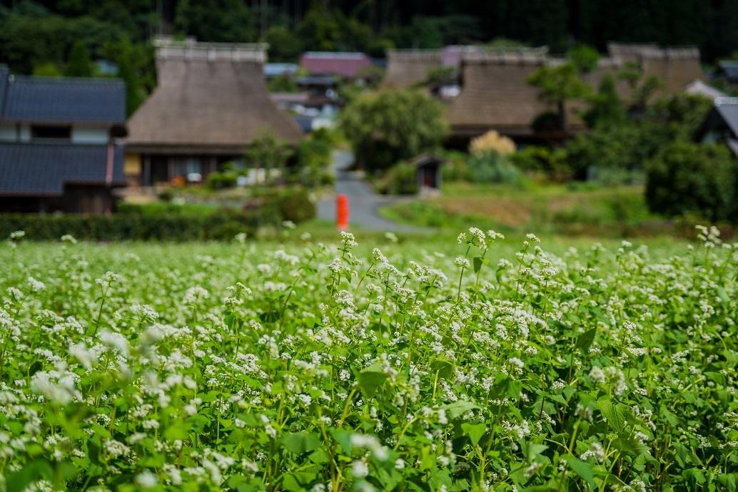 美山かやぶきの里~蕎麦の花_e0363038_10305399.jpg