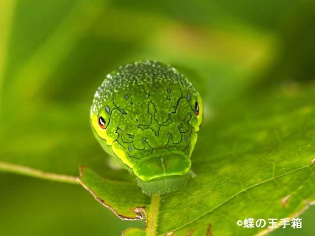 カラスアゲハの幼虫その後_b0107948_22433798.jpg