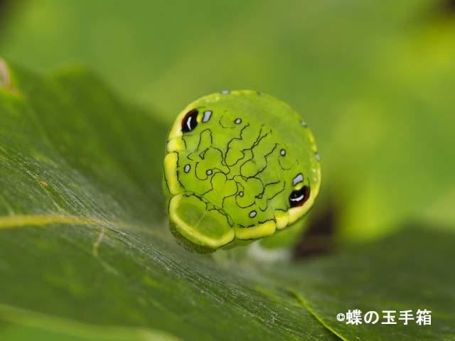 カラスアゲハの幼虫その後_b0107948_22435076.jpg
