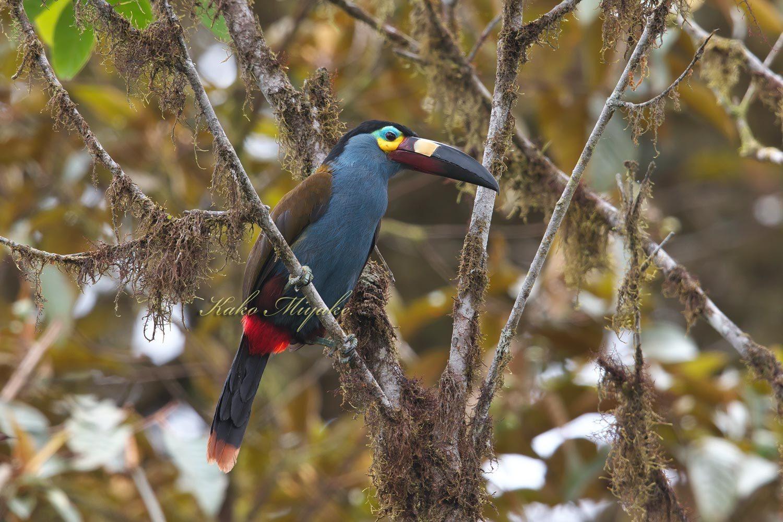 ・イタハシヤマオオハシ(Plate-billed Mountain-toucan)  エクアドル探鳥旅行記_d0013455_18531562.jpg
