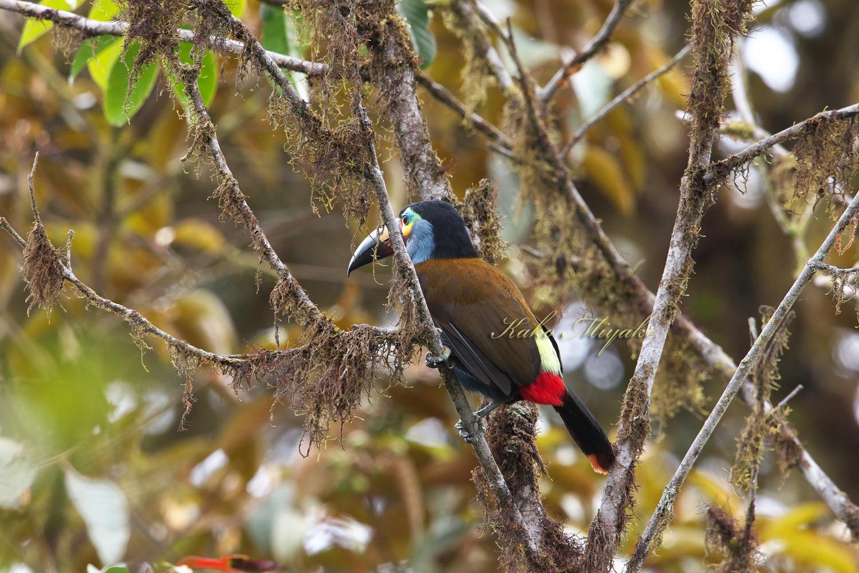 ・イタハシヤマオオハシ(Plate-billed Mountain-toucan)  エクアドル探鳥旅行記_d0013455_18532613.jpg