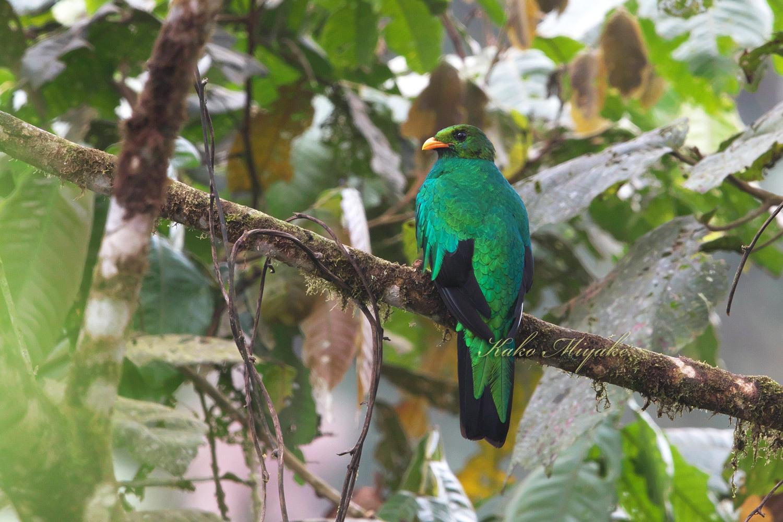 ・キンガシラカザリキヌバネドリ(Golden-headed Quetza)  エクアドル探鳥記 _d0013455_18595609.jpg