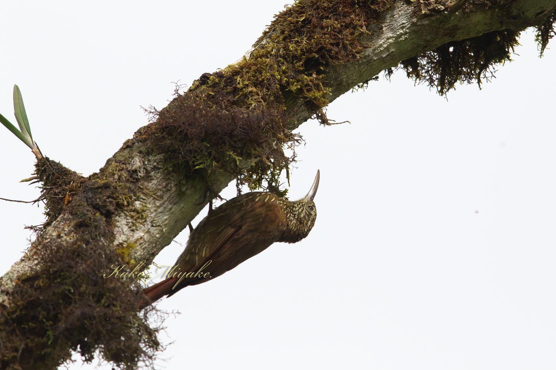 ・シマガシラオニキバシリ(Streak-headed Woodcreeper ) エクアドル探鳥記 _d0013455_19042009.jpg