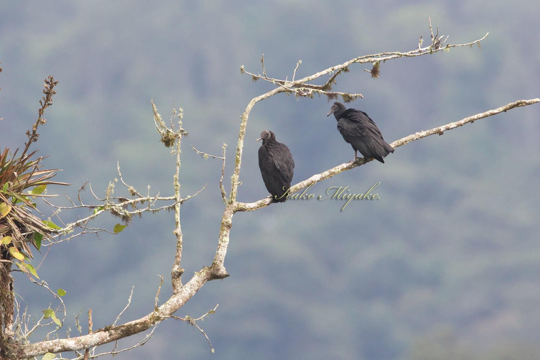 クロコンドル(Black Vulture )  エクアドル探鳥記_d0013455_19043968.jpg