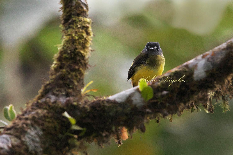・キゴシタイランチョウ(Ornate Flycatcher) エクアドル探鳥旅行記_d0013455_20125163.jpg