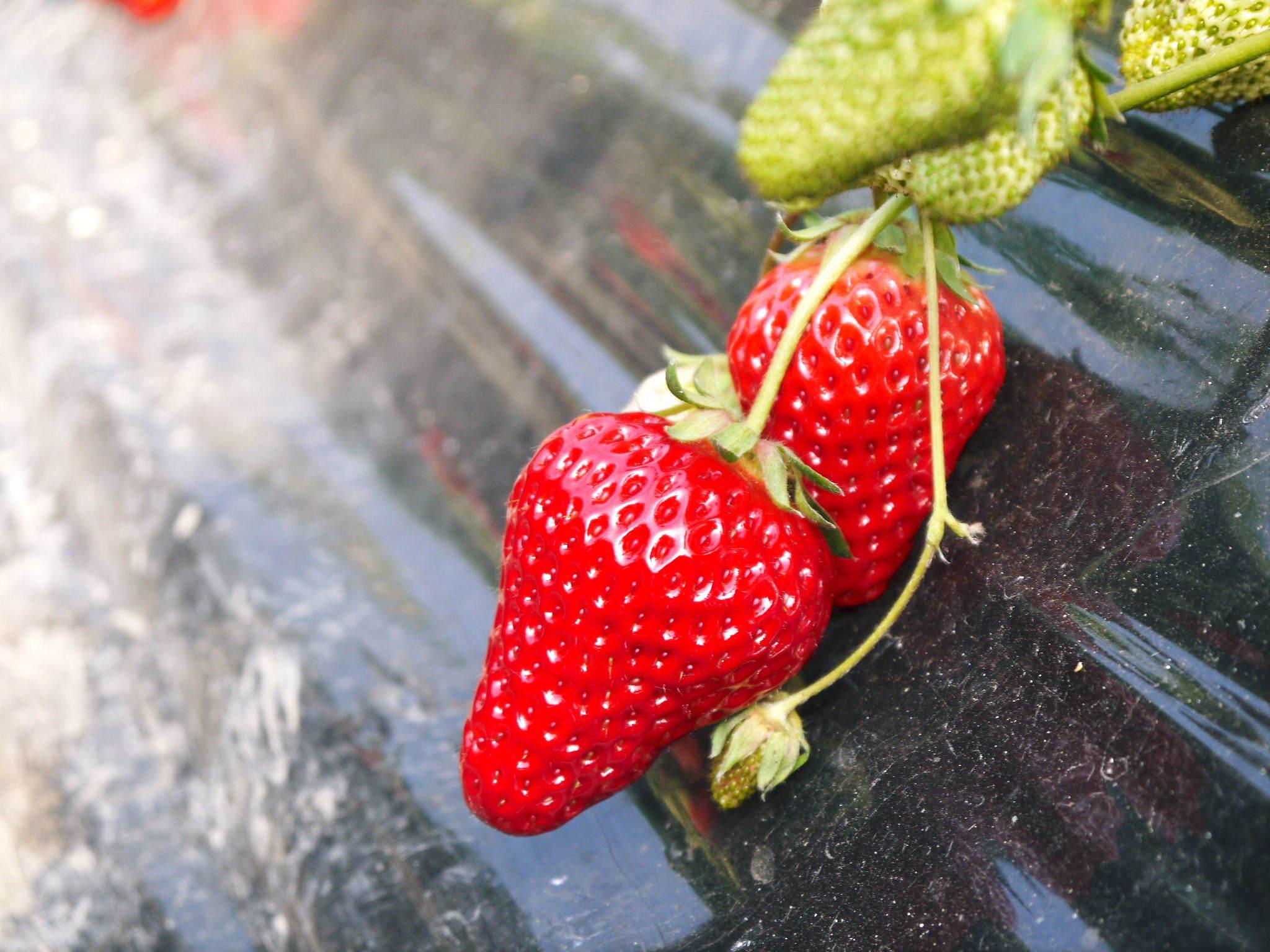 完熟紅ほっぺ まもなく定植!栽培ハウスの今の様子と元気な苗床の苗!こだわりの減農薬栽培で育てます!_a0254656_18321395.jpg