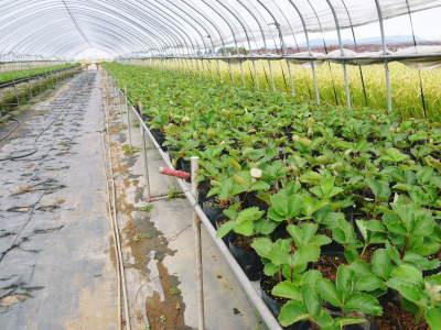 完熟紅ほっぺ まもなく定植!栽培ハウスの今の様子と元気な苗床の苗!こだわりの減農薬栽培で育てます!_a0254656_18343965.jpg