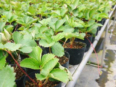 完熟紅ほっぺ まもなく定植!栽培ハウスの今の様子と元気な苗床の苗!こだわりの減農薬栽培で育てます!_a0254656_18430135.jpg
