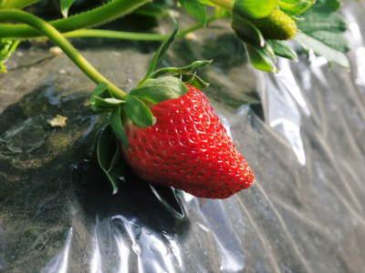完熟紅ほっぺ まもなく定植!栽培ハウスの今の様子と元気な苗床の苗!こだわりの減農薬栽培で育てます!_a0254656_18453024.jpg