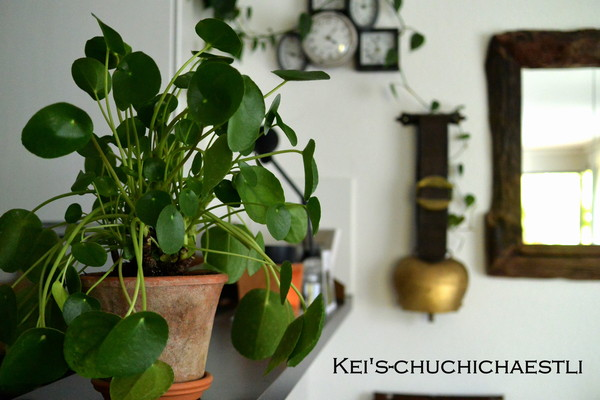 癒し系観葉植物ピレア ペペロミオイデス_c0287366_2213467.jpg