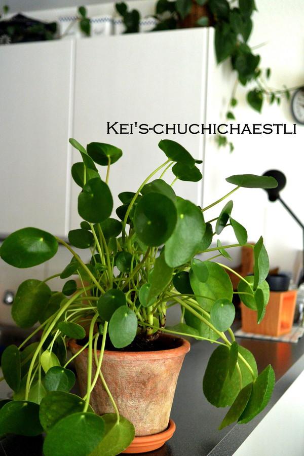 癒し系観葉植物ピレア ペペロミオイデス_c0287366_22211537.jpg