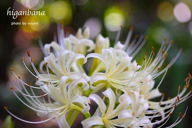 白い彼岸花 咲き始めました_d0316986_15393928.jpg