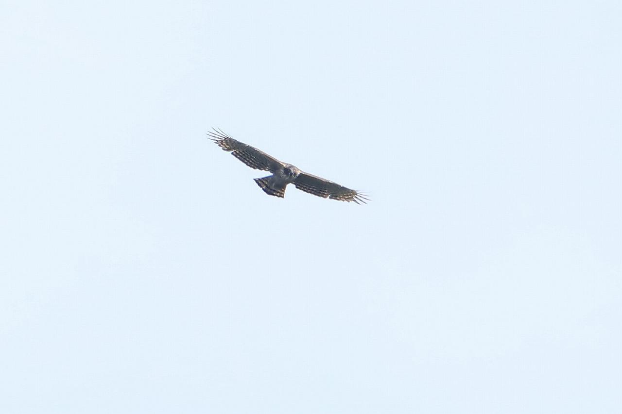鷹の渡り_f0296999_15375489.jpg