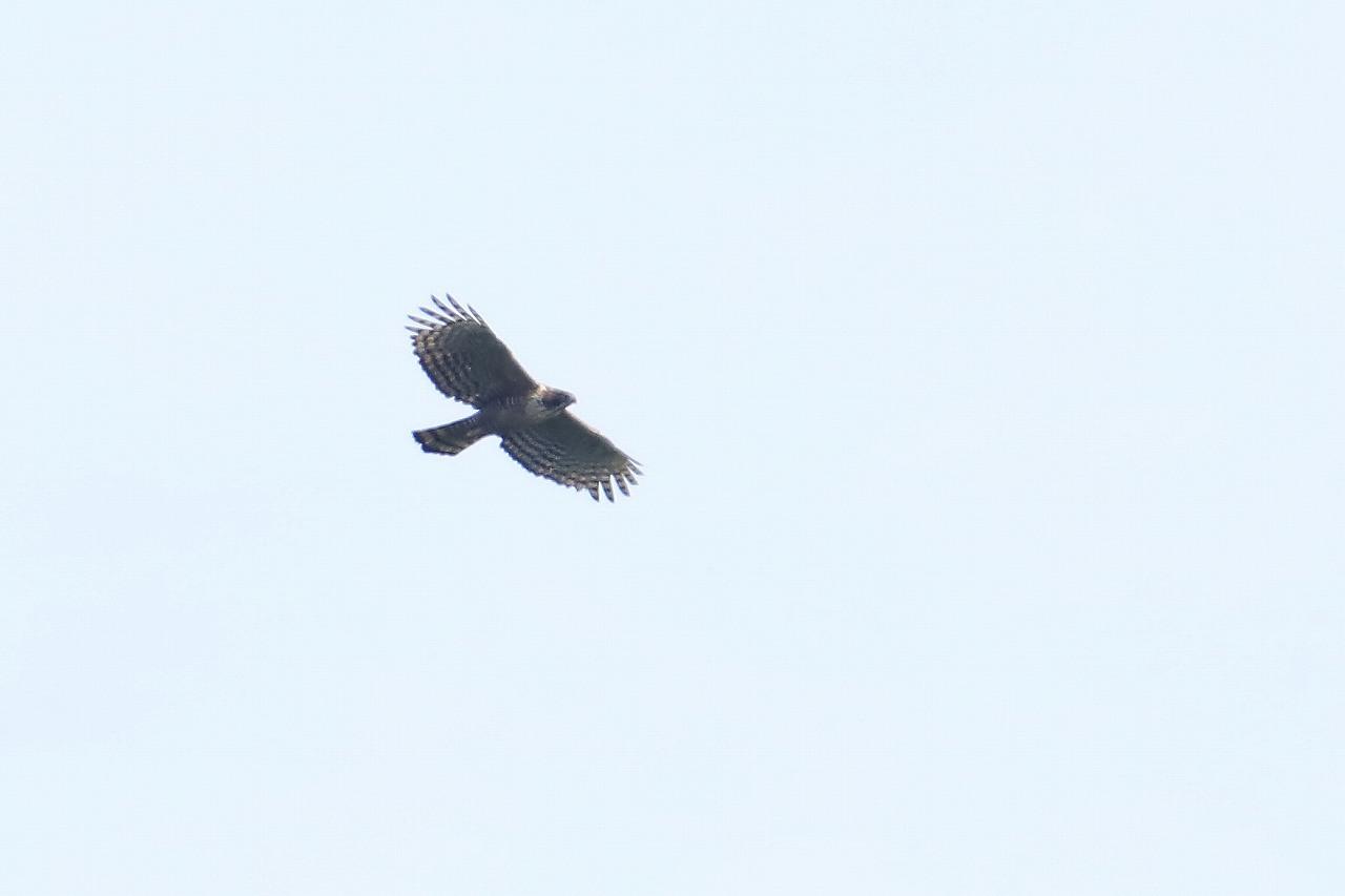 鷹の渡り_f0296999_15380199.jpg