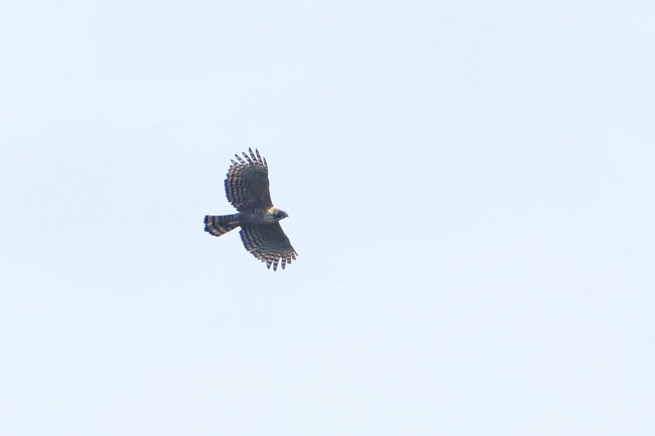 鷹の渡り_f0296999_15380718.jpg