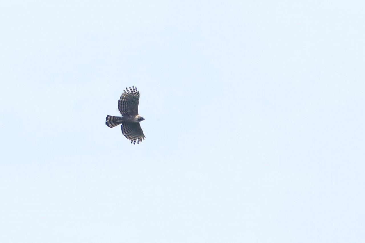 鷹の渡り_f0296999_15381444.jpg