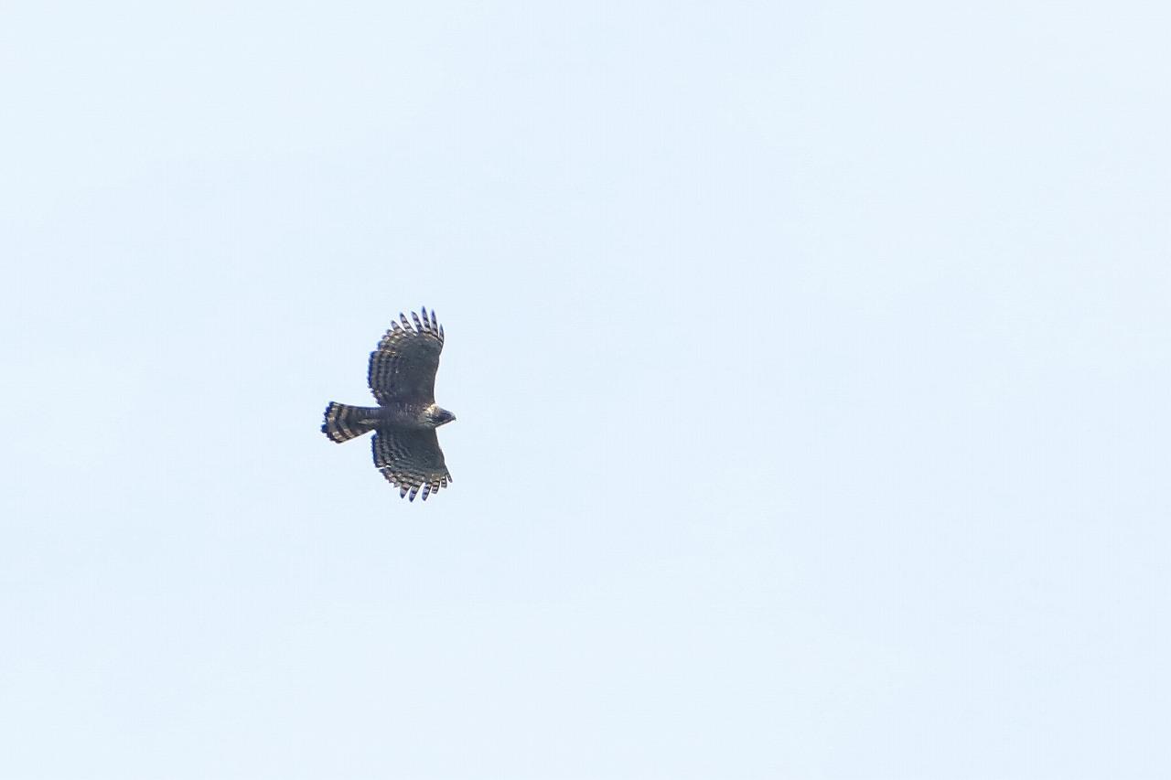 鷹の渡り_f0296999_15381925.jpg