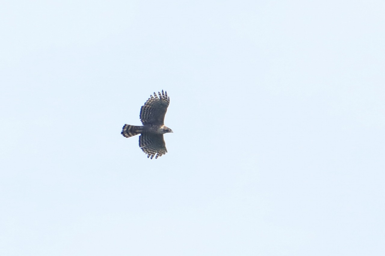 鷹の渡り_f0296999_15382567.jpg