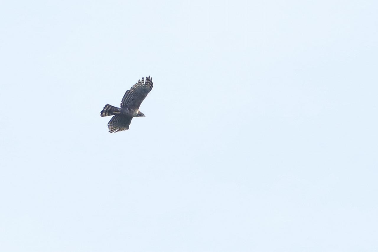 鷹の渡り_f0296999_15383138.jpg