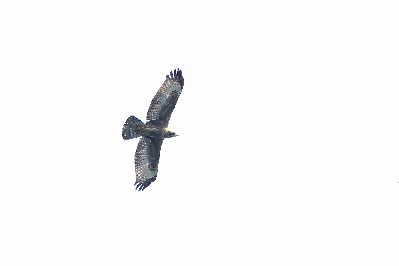 鷹の渡り_f0296999_15502232.jpg