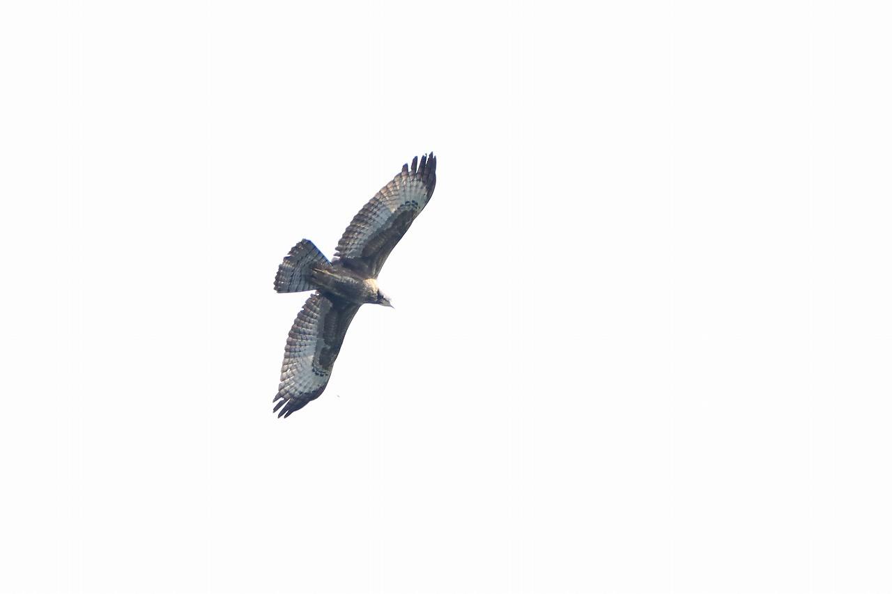 鷹の渡り_f0296999_15502749.jpg