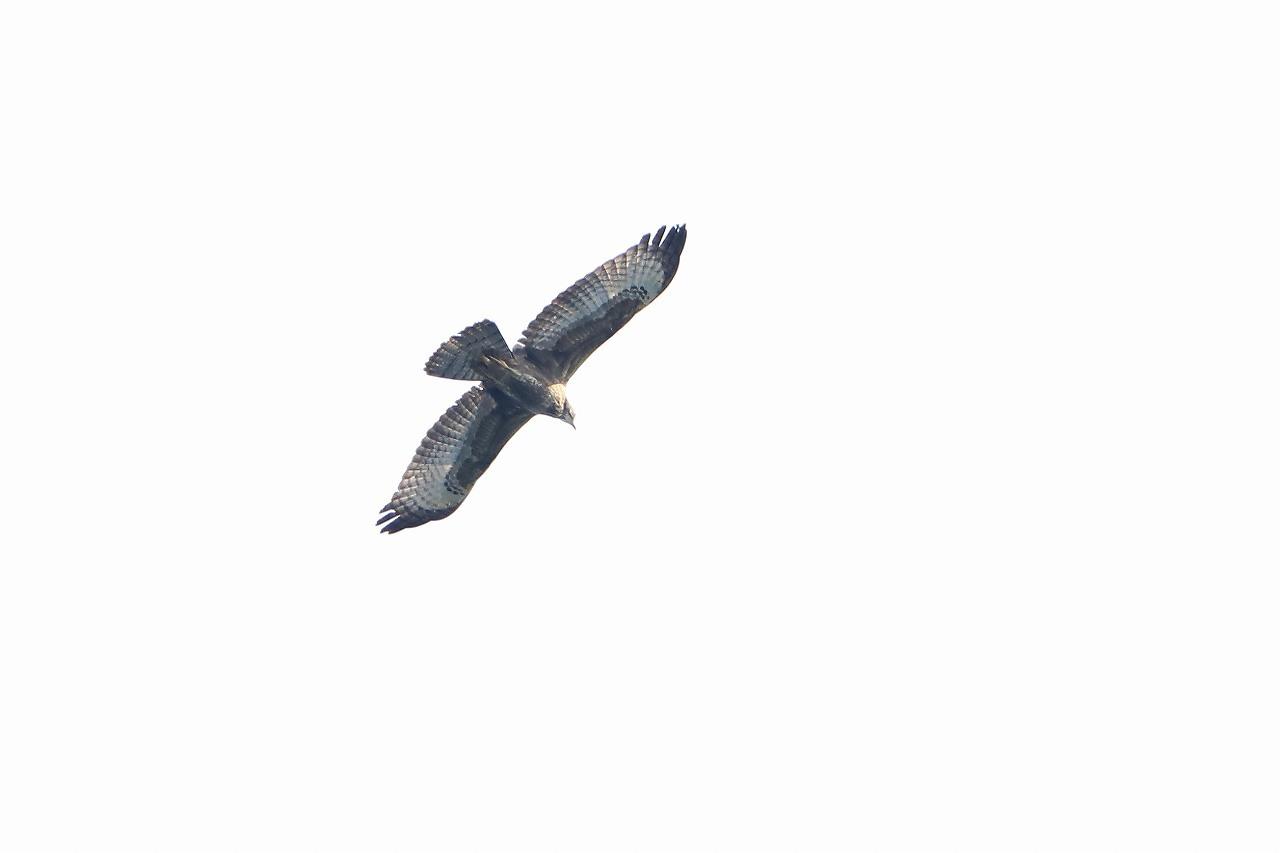 鷹の渡り_f0296999_15503382.jpg