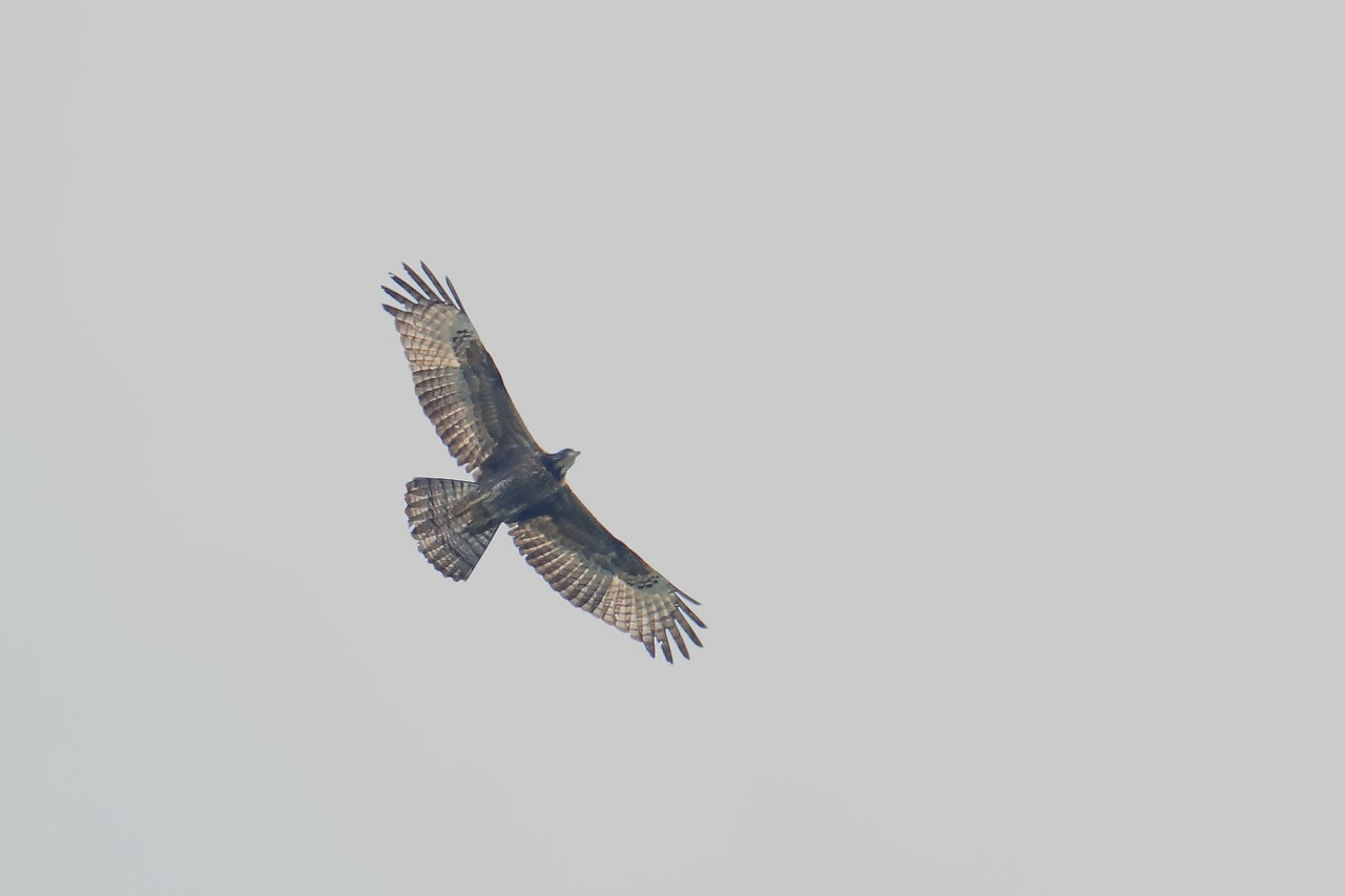 鷹の渡り_f0296999_15503987.jpg