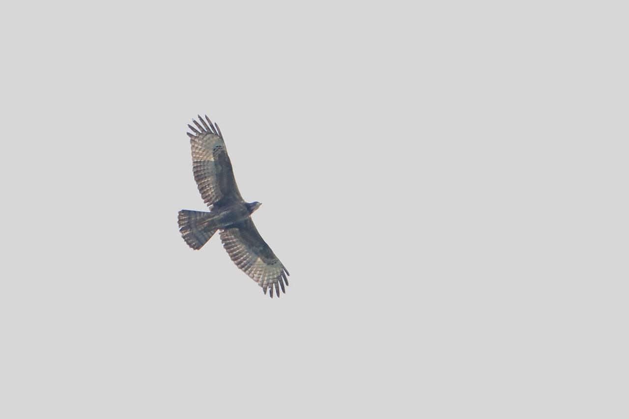 鷹の渡り_f0296999_15504691.jpg