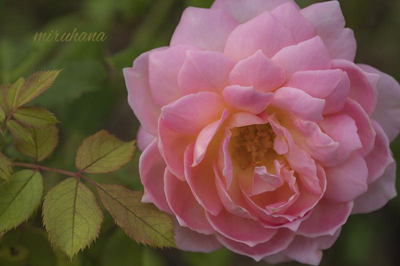 麗しき薔薇たち。_c0037519_00581600.jpg