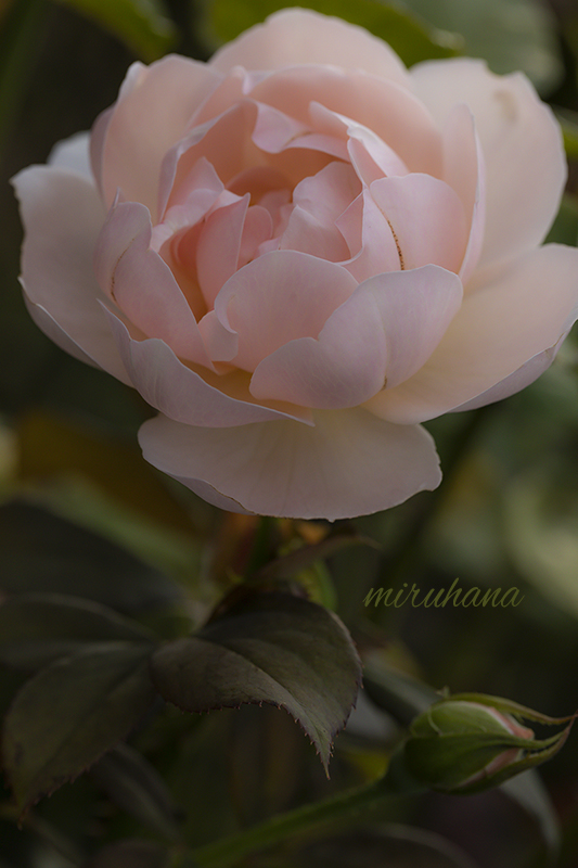 麗しき薔薇たち。_c0037519_00582972.jpg