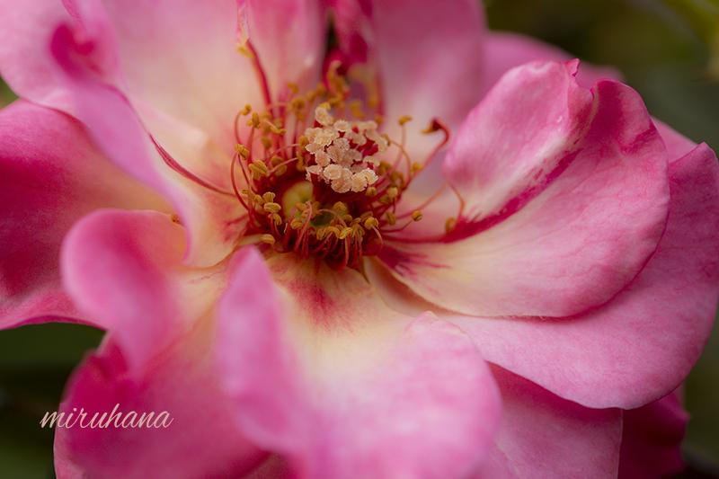 麗しき薔薇たち。_c0037519_01040243.jpg