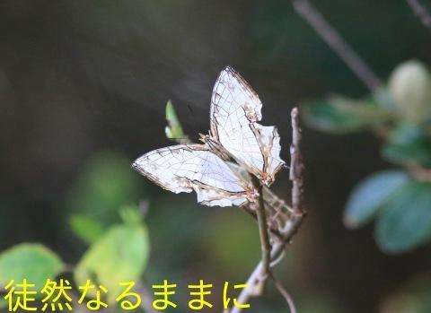タテハモドキ  in  福岡(生息地最北端)_d0285540_06480533.jpg