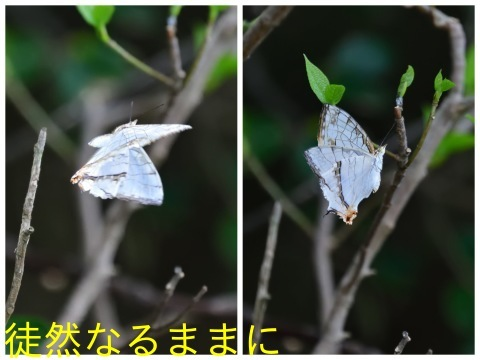 タテハモドキ  in  福岡(生息地最北端)_d0285540_06480790.jpg