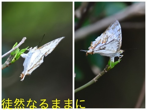 タテハモドキ  in  福岡(生息地最北端)_d0285540_06481064.jpg