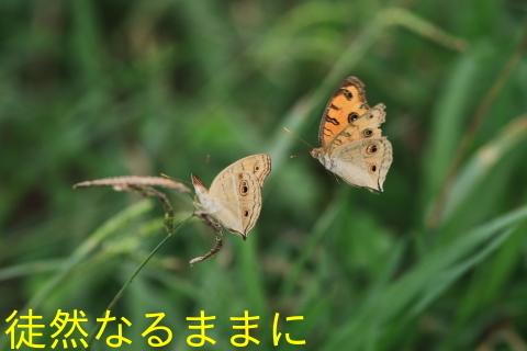 タテハモドキ  in  福岡(生息地最北端)_d0285540_06544328.jpg