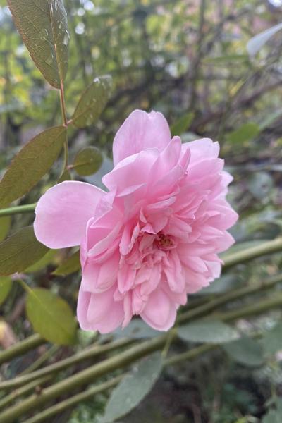 庭のイングリッシュローズ・モーティマーサックラー_e0333647_16553096.jpg