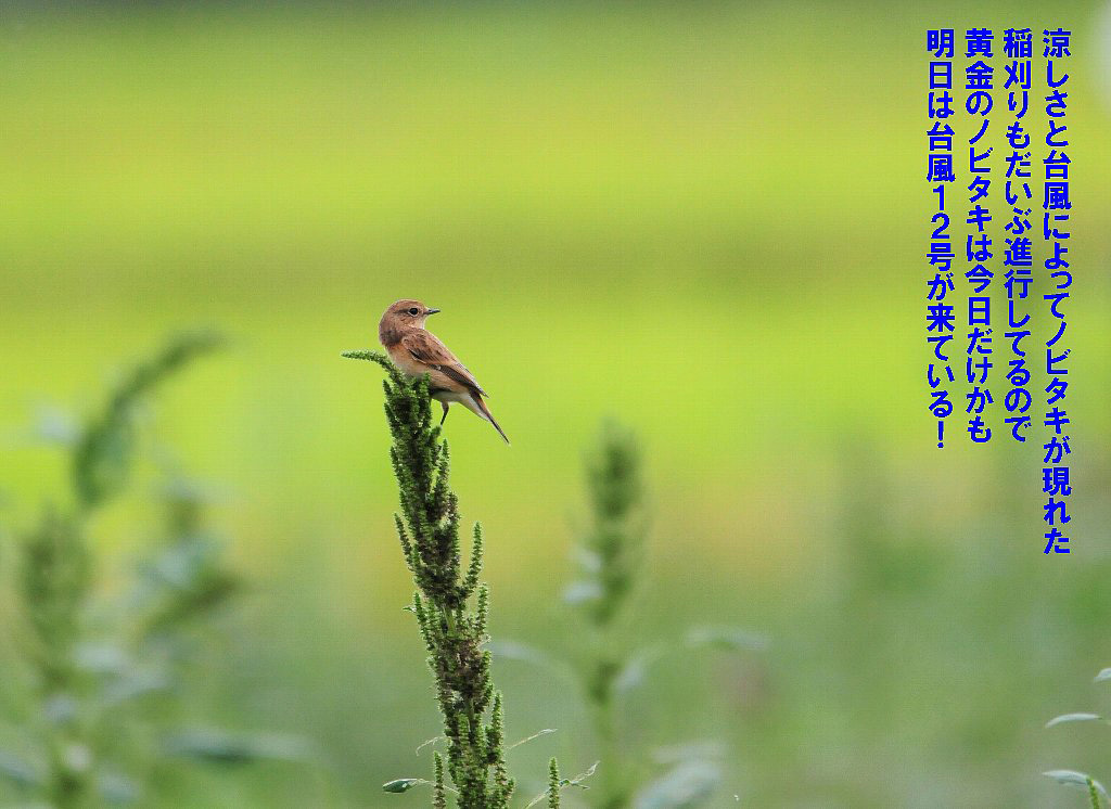 秋のノビタキが来たぞォォー午後には台風の影響で雨が!_b0404848_14445888.jpg