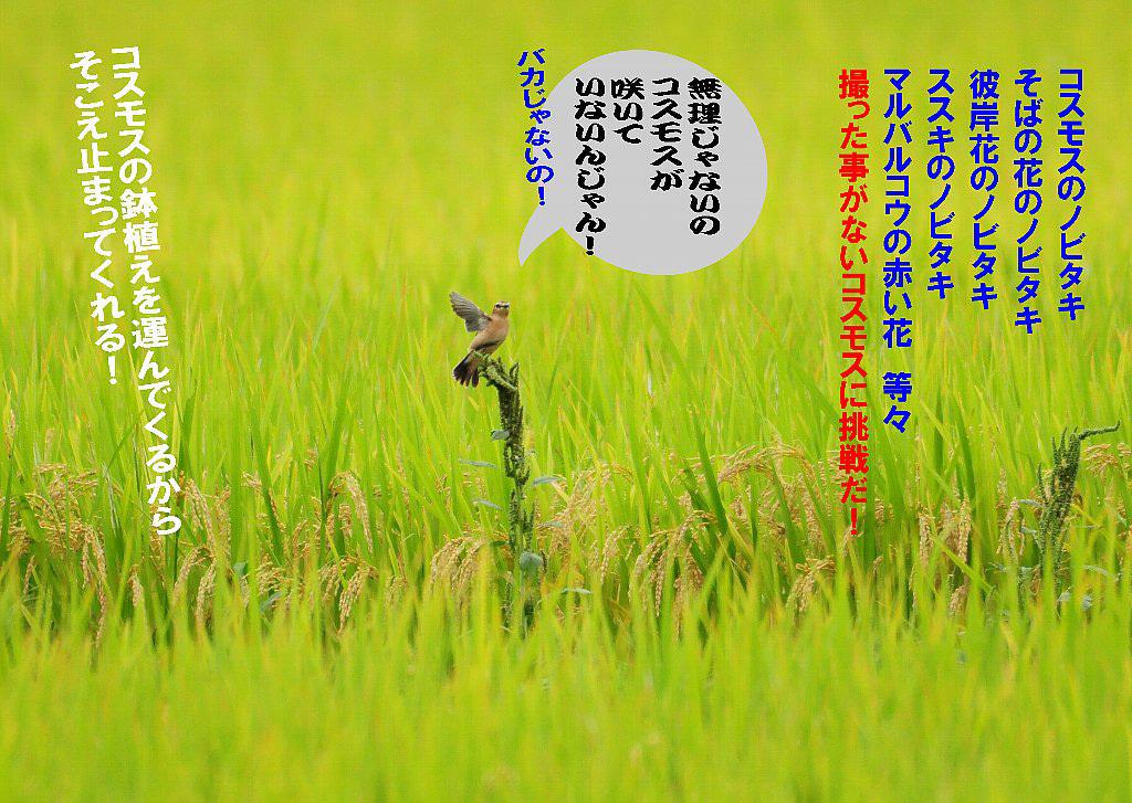 秋のノビタキが来たぞォォー午後には台風の影響で雨が!_b0404848_14452001.jpg