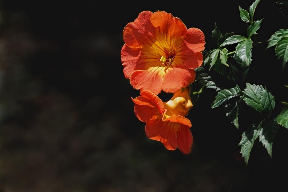 夏の花  2020-10-11_e0229455_12300555.jpg