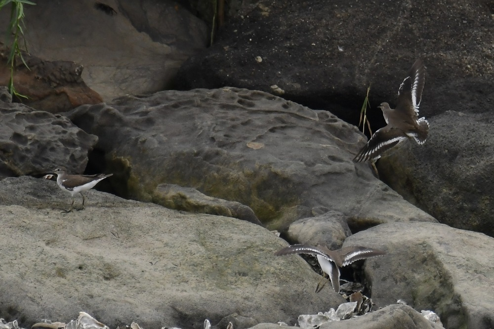 冬のカモが渡ってきました★先週末の鳥類園(2020.9.19~22)_e0046474_17572460.jpg