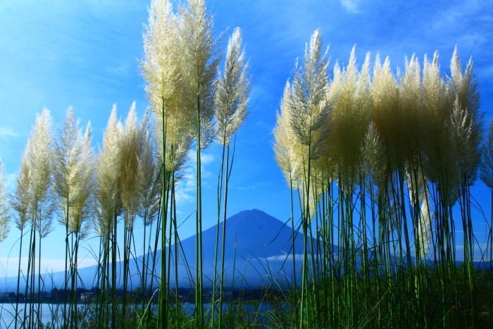 令和2年9月の富士(8) 河口湖のパンパスグラスと富士_e0344396_14484907.jpg