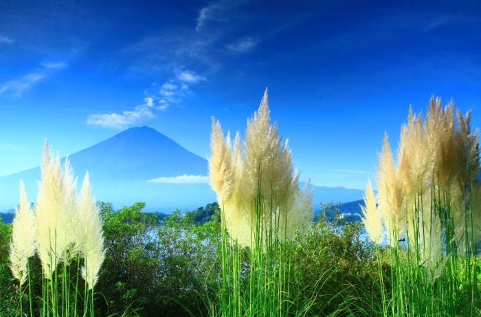 令和2年9月の富士(8) 河口湖のパンパスグラスと富士_e0344396_14484948.jpg