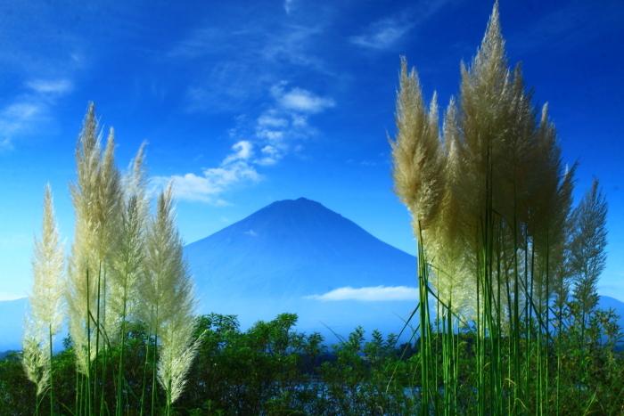 令和2年9月の富士(8) 河口湖のパンパスグラスと富士_e0344396_14484976.jpg